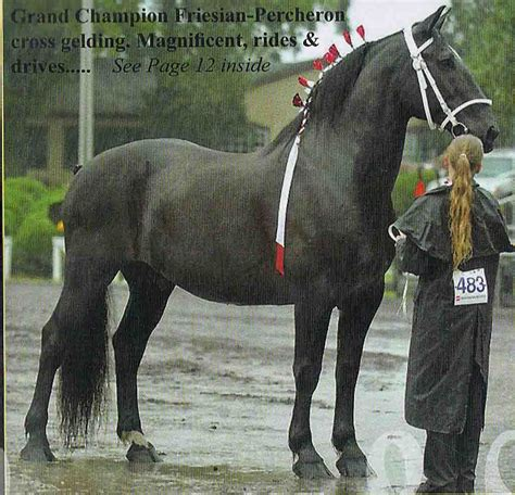 friesian horse percheron cross horses draft clydesdale crosses breeds majestic friesians sport tail mustang dreams