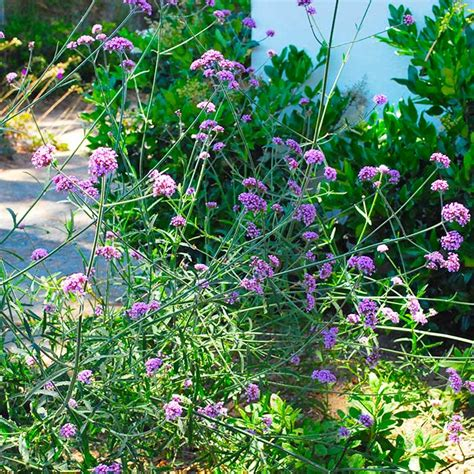 southern california plants southern california gardening plants for dry shady areas