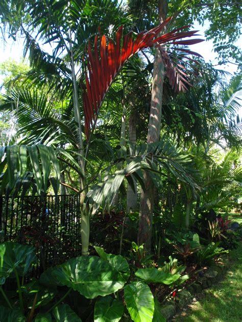 plants flamethrower palms red cloak pitcher plants