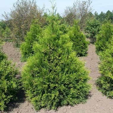 thuja occidentalis brabant thuja occidentalis brabant nordic 174 brabant arborvitae from midwest groundcovers
