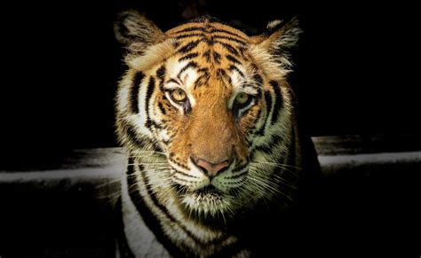 Tiger Photo by 100 Majestic Tiger Pictures 183 Pexels 183 Free Stock Photos