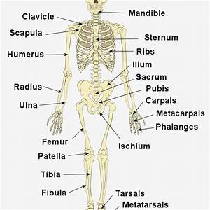 How Skeletal System Labeled