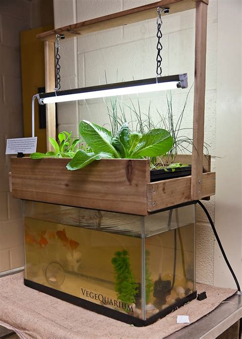 eating fish poop marijuana aquaponics  hydroponics
