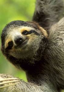 Smiling Sloth | www.pixshark.com - Images Galleries With A ...