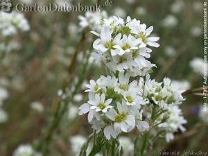 Unkraut Weiße Blüte : graukresse bilder fotos berteroa incana bild mit infos ~ Lizthompson.info Haus und Dekorationen