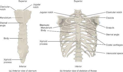 Anatomia Gabbia Toracica - la gabbia toracica anatomia da quali strutture 232 costituita