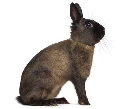 alaska rabbit breed size lifespan  care caring  pets