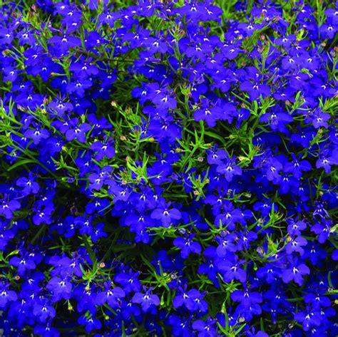 blue lobelia lobelia dscole growers