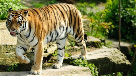 Best Tiger Wallpapers