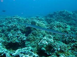 Pictures Of Needlefish