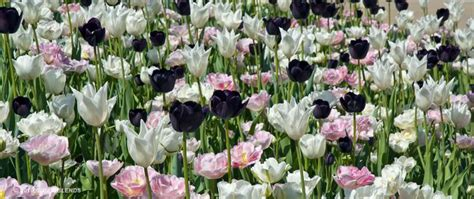 m 225 s de 25 ideas incre 237 bles sobre tulip bulbs for sale en