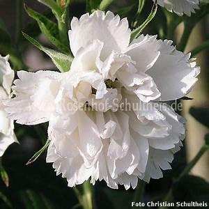 Rosen Düngen Im Frühjahr : wei e nelkenrose rosen online kaufen im rosenhof schultheis rosen online kaufen im rosenhof ~ Orissabook.com Haus und Dekorationen