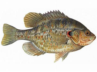 Sunfish Fish Redear Farms Facts