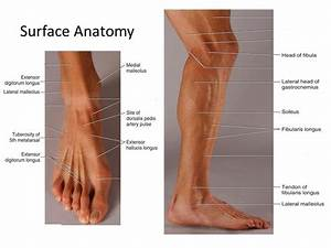 Image Result For Foot Anatomy