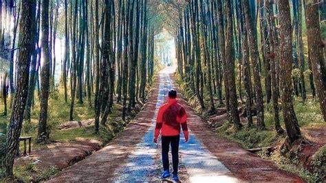 hutan pinus kragilan tempat wisata alam instagramable