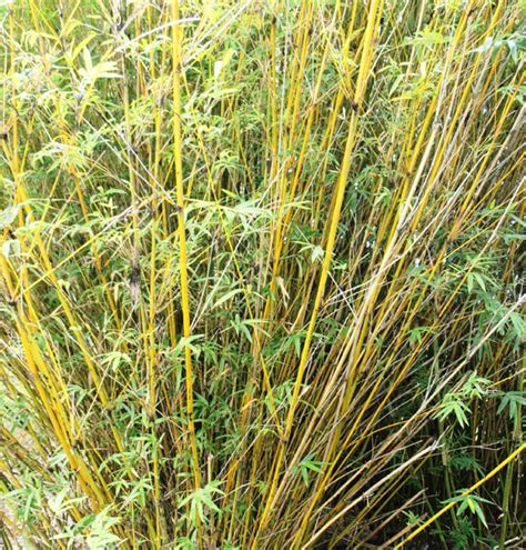 bamboo varieties bamboo varieties related keywords suggestions bamboo varieties long tail keywords