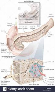 Diagram Detailing The Parts Of The Pancreas  As Well As An Inset Of Stock Photo