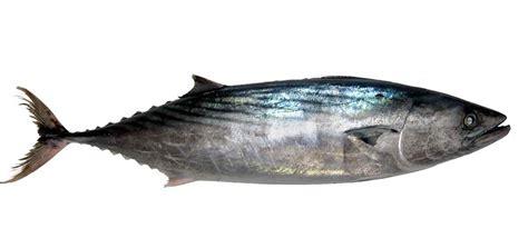 cucinare palamita palamita pesce azzurro descrizione e usi in cucina