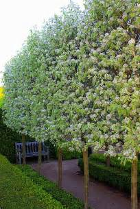 Hedge Pear Tree