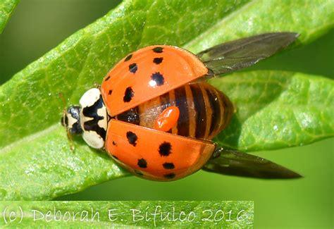 ladybug vs asian beetle lady bug archives what s that bug