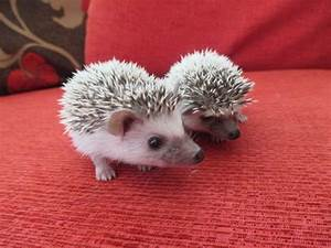 Cute Baby African Pygmy Hedgehogs For Sale
