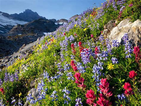 mount rainier national park washington spring wildflowers