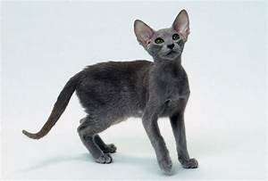 Oriental Cat - Cat Breed history and some interesting facts