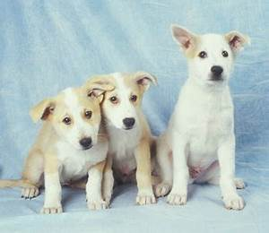 Canaan Dog Info, Temperament, Care, Training, Puppies ...