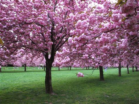 botanical garden cherry blossom i took this pic in the botanic garden en we