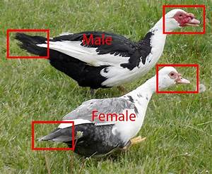 Muscovy duck male and female differences ~ Bird Information