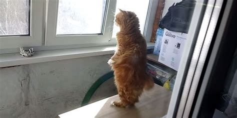 Cat Standing On Two Feet by Meet Human Cat Who Keeps Standing On 2 Legs And Judging