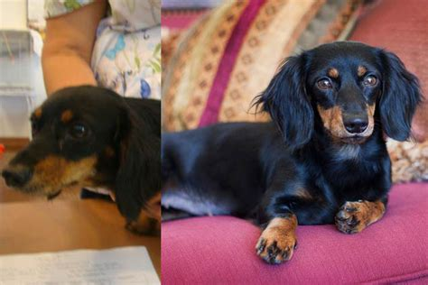 A Texas Dachshund Rescue Boosts Adoptions With A Little