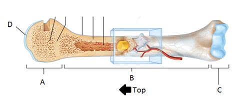 Label number 1 in the diagram indicates which part of the bone. Bones - Biology 368 with Fretham at Luther College - StudyBlue