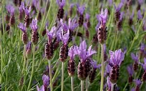 Lavendel Sorten übersicht : schopflavendel 39 papillon 39 pflanze lavandula stoechas lavendel duftpflanzen r hlemann 39 s ~ Eleganceandgraceweddings.com Haus und Dekorationen