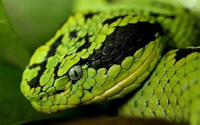 Snake Head Wallpapers Wide Animals Snakes Serpent