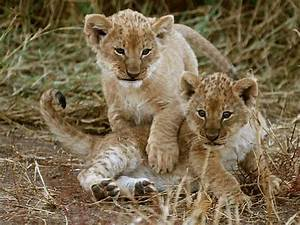 Baby Lion Cubs Playing | www.pixshark.com - Images ...