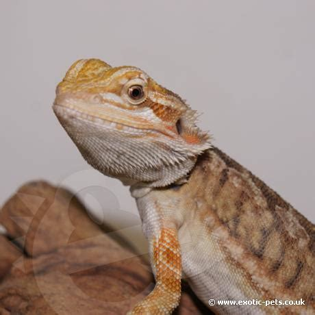 bearded dragon heat l wattage bearded dragon crawly red leatherback bearded dragon