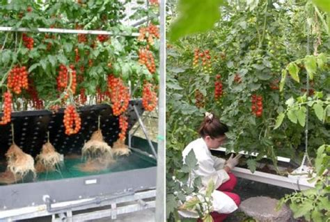 Serre Trees Pdf by Growing Tomatoes In The Air Horticultural News