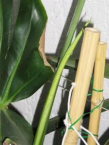 Monstera Deliciosa Ableger : startschuss zum wachsen ist gefallen majas pflanzenblog ~ Eleganceandgraceweddings.com Haus und Dekorationen