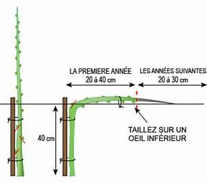 Tailler Les Kiwis : quand tailler glycine comment faire pousser entretenir et orienter une glycine jardins et ~ Farleysfitness.com Idées de Décoration