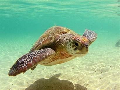 Sea Turtles Wallpapers Turtle Desktop
