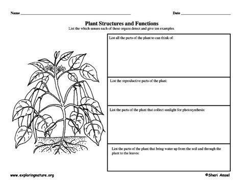 plant structures  functions graphic organizer