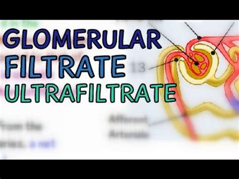 Glomerular Filtrate  Ultrafiltrate  Glomerular. Small Case Signs. Fakultas Kedokteran Signs. Downloadable Signs. April Signs. Ego Signs Of Stroke. Facial Droop Signs. End Cycle Route Signs. Panel Board Signs Of Stroke
