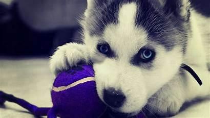 Husky Siberian Wallpapers Puppies Puppy Huskies Backgrounds