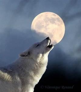 White Wolf : Happy Full Wolf Moon 2014 (Videos)