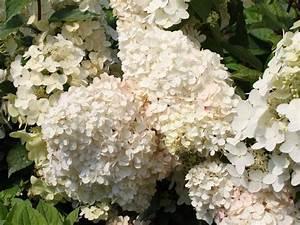 Hydrangea Paniculata Schneiden : rispenhortensie 39 unique 39 hydrangea paniculata 39 unique ~ Lizthompson.info Haus und Dekorationen