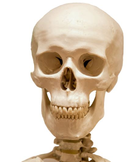 Collection of Skeleton Head PNG.   PlusPNG