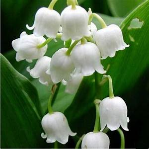 Lily Of The Valley Flower Windbell Orchid Seeds 80 Seeds