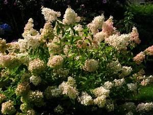 Hydrangea Paniculata Schneiden : rispenhortensie 39 grandiflora 39 hydrangea paniculata ~ Lizthompson.info Haus und Dekorationen