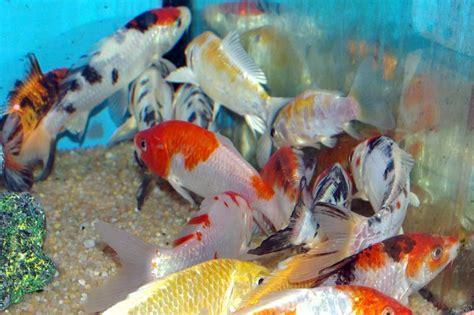 carpe koi dans aquarium carpe quot koi quot tricolor poissons eau froide vente magasin uniquement de bassins ko 239